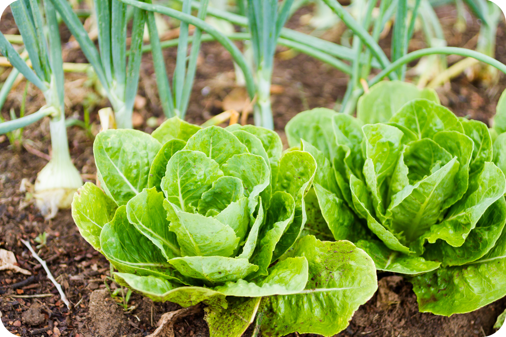 Green Onion and Lettuce
